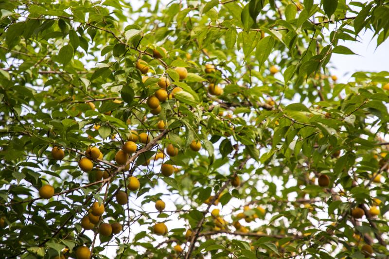 乌梅果――乡村振兴幸福果